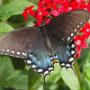 Spicebush Swallowtail at Butterfly Jungle - 24 Apr 2010