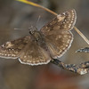 Wild Indigo Duskywing - Kitty Todd - August 22, 2010