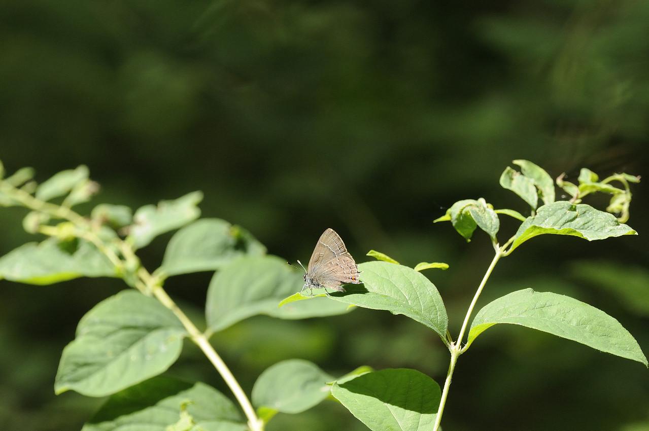 butterfly (4) - Rock Bridge State Park - Boone County Missouri
