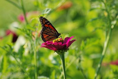 Monarch Butterfly on pink Zinnia -- DSC_0197