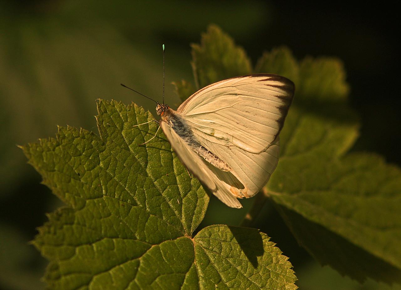 Veined White, Turtle Bay Butterfly Garden