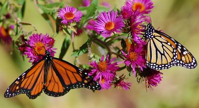 Butterflies_2006-10-08_1