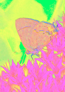 Gray Hairstreak  09 12 10  023 - Edit - Edit-3