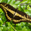 Giant Swallowtail - Butterfly Wonderland - 28 Mar 2014