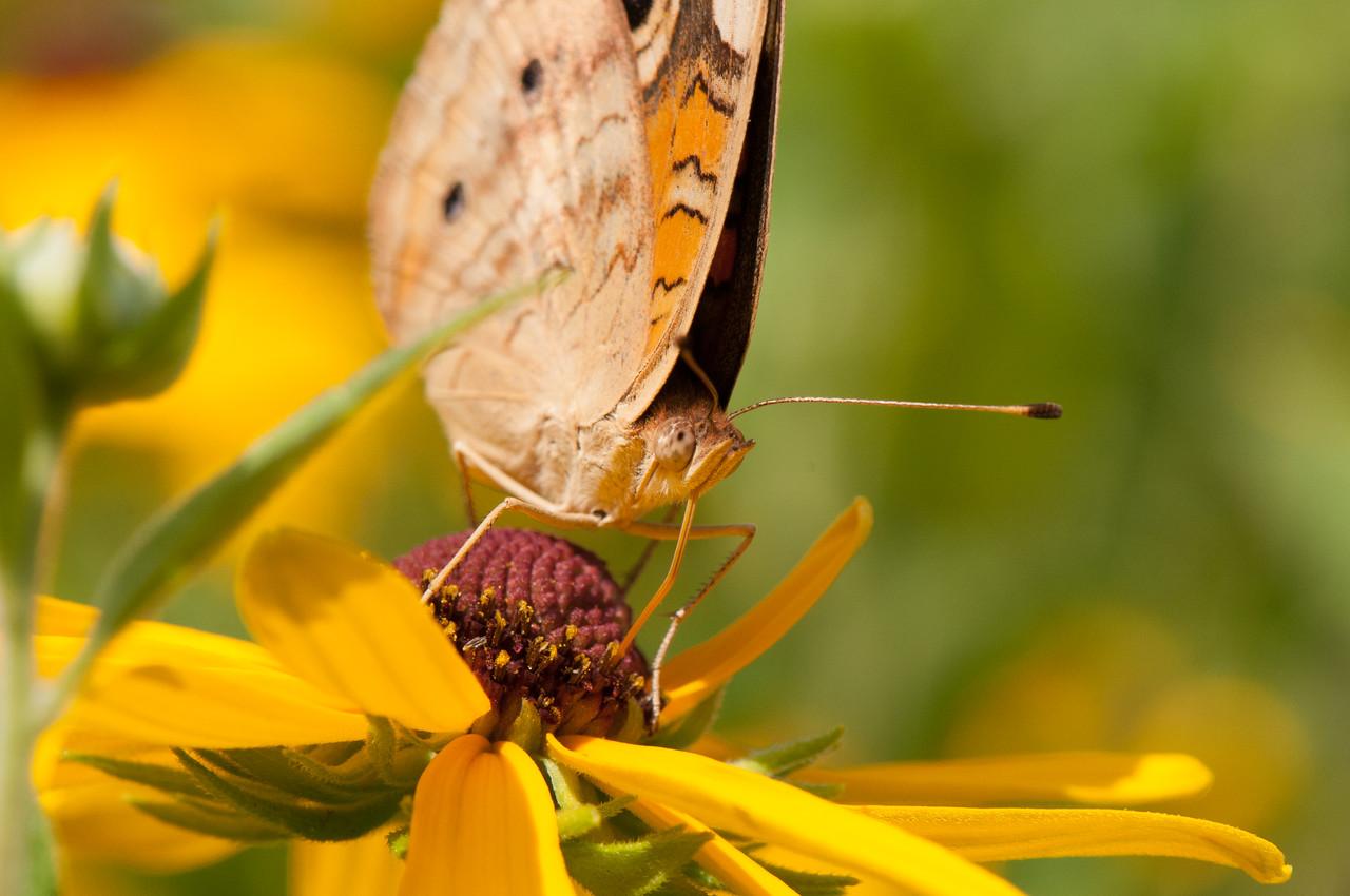 Buckeye Butterfly (12)