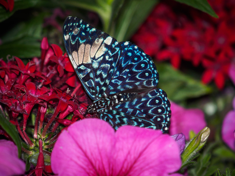 Red Cracker at Butterfly Jungle - 4 Apr 2014