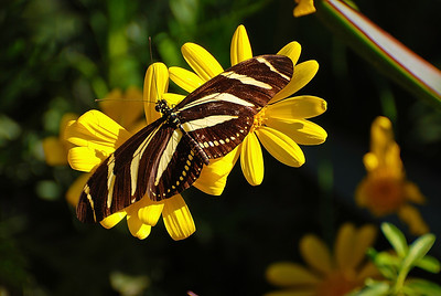 Zebra Longwing on yellow flowers