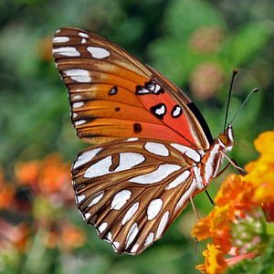 Eye Candy -  A Passion Butterfly also know as Gulf Fritillary (Agraulis vanillae) on a Lantana Bloom