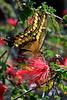 Swallowtail3226