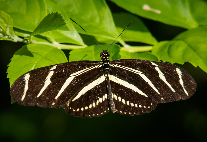 Zebra Longwing - Butterfly Wonderland - 28 Mar 2014