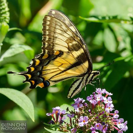 20130817_Butterflies_138-Edit