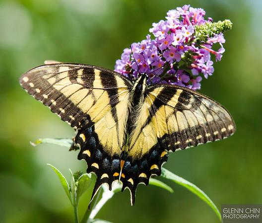 20130817_Butterflies_154-Edit