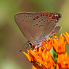 Coral Hairstreak - July 16, 2011