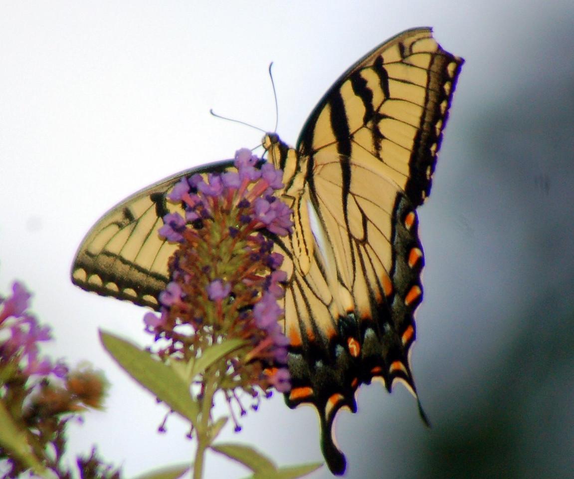 Backyard Butterfly 7-08-9