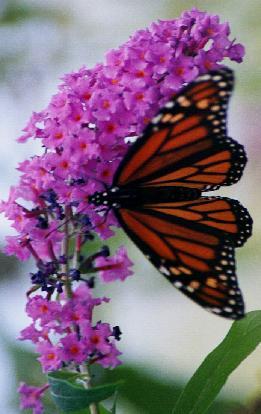 Monarch on Buddelia