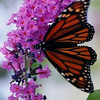 Monarch on Buddelia