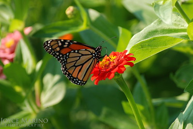 Monarch Butterfly on orange Zinnia -- DSC_0207