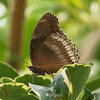 Great Eggfly (female) at Butterfly Jungle - 16 Apr 2011