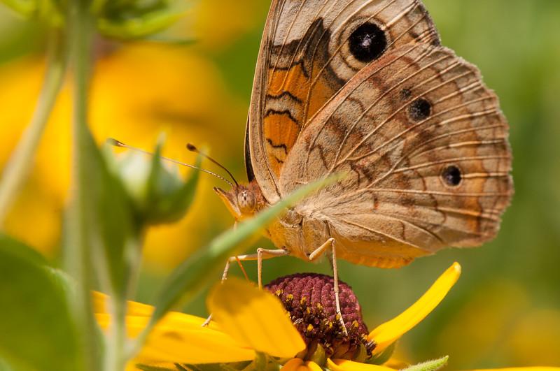 Buckeye Butterfly (10)