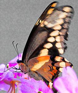 Giant Swallowtail  08 08 09  002 - Edit - Edit