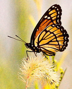 Viceroy Butterfly  08 06 09  036 - Edit-2
