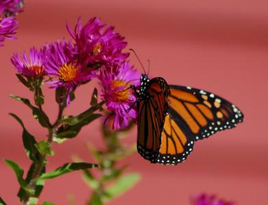 Butterflies_2006-10-08_3