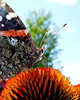 Butterfly - Red Admiral (Vanessa atalanta) - Photo Taken: July 13, 2014