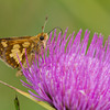 Peck's Skipper - SE Michigan - August 2010