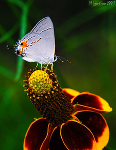 Gray Hairstreak 2