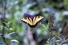 Swallowtail WV
