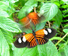 These two unidentified butterflies are doing the mating dance.  My guess is that the one in flight is the male trying to impress the stationary female.