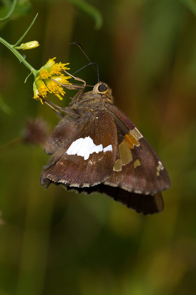 Silver spotted Skipper - September 15 - Oak Openings