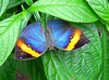 There is a lot of difference in this butterfly's inner wing coloring and outer wing coloring.