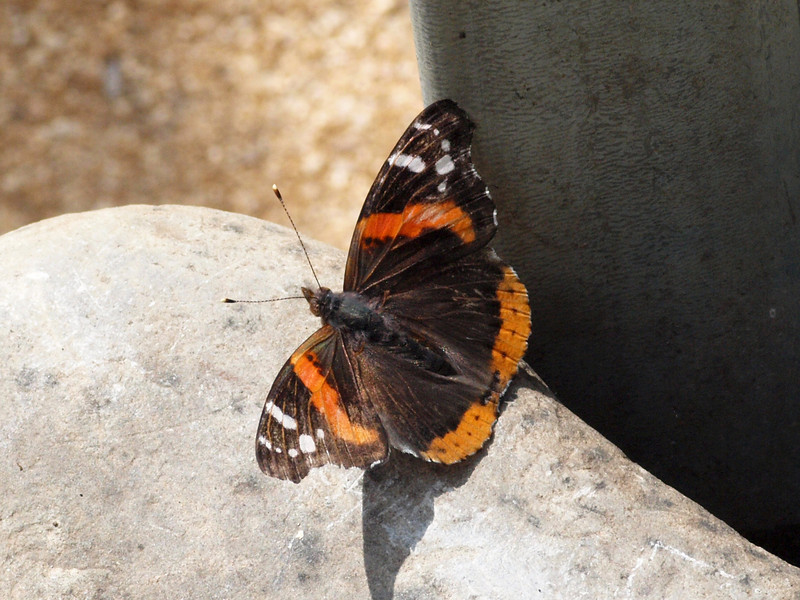 Red Admiral at Butterfly Jungle - 24 Apr 2010