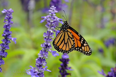 Monarch Butterfly on purple Salvia -- DSC_1011
