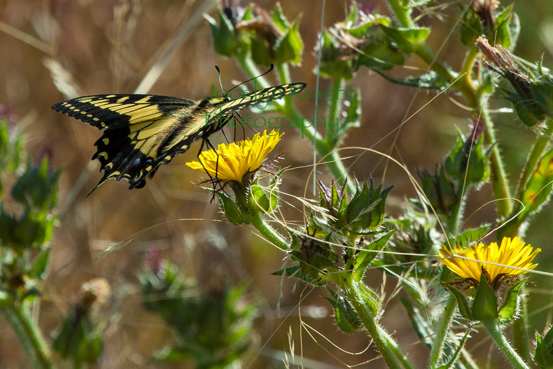 MG2619 Anise Swallowtail on Gum plant in Corte Madera on June 14, 2013.