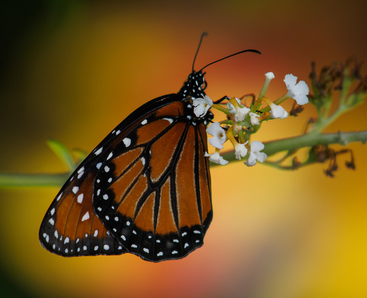 Monarch - Butterfly Wonderland - 28 Mar 2014
