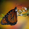 Monarch - Butterfly Wonderland - 28 Mar 2014