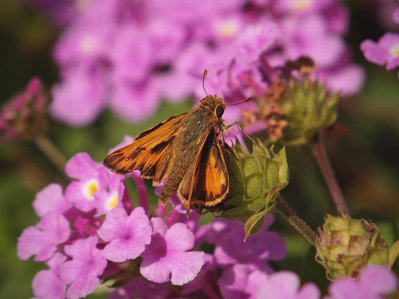 Rural Skipper - 20 Sept 2011