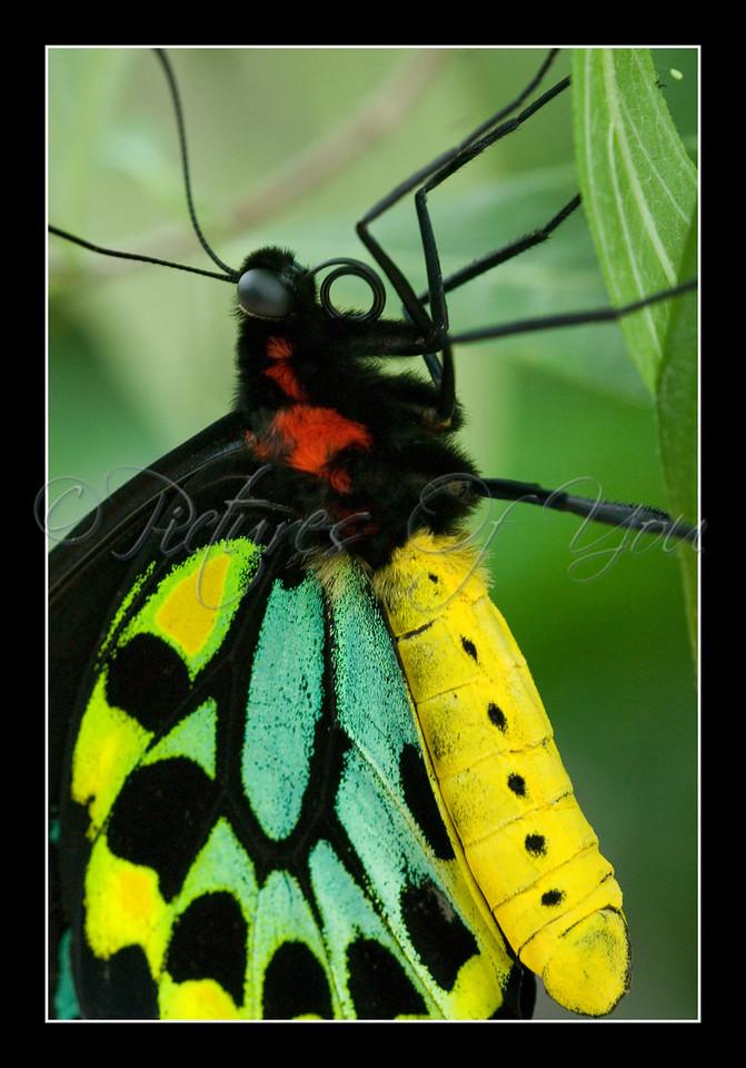 Cairns Birdwing (Ornithoptera euphorion) macro