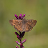 Horace's Duskywing - July 21, 2012
