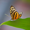 Harmonia Tigerwing at Boston Butterfly Garden - 30 Mar 2011