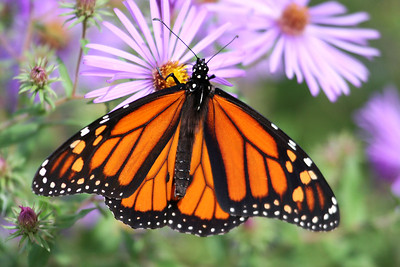 Monarch and Asters