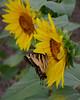090312 <br /> Swallowtail Butterfly on Sunflower<br /> Jarrettsville Pike Field