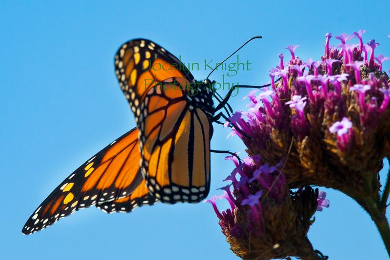 Monarch6937