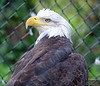 Bonus bald eagle at the Nature Center.