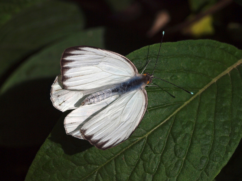 Great Southern White at Butterfly Jungle - 24 Apr 2010