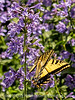 Giant Swallowtail on Nepeta