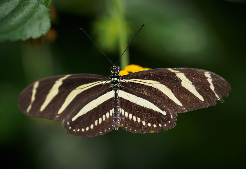 Zebra Longwing - Butterfly Wonderland - 28 Mar 2014