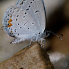 Eastern-tailed Blue - Shawnee - April 30, 2011